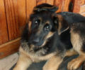 Solo – 13 week old male puppy for sale (only to approved home)