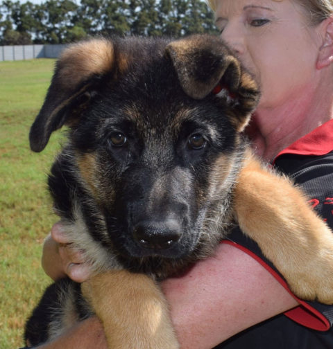 German Shepherd Stunning show quality pups for sale, only to approved homes.